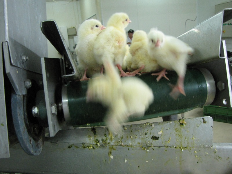 Grinding Baby Chicks Alive