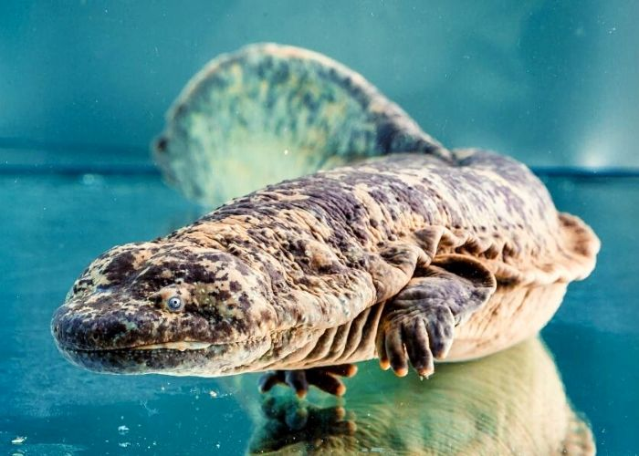 The Chinese Giant Salamander