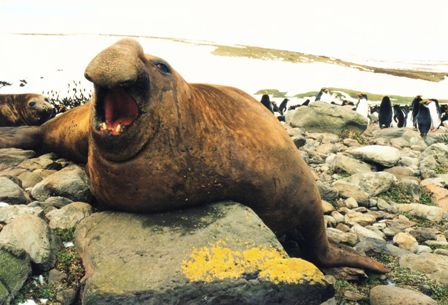 The Southern Elephant Seal